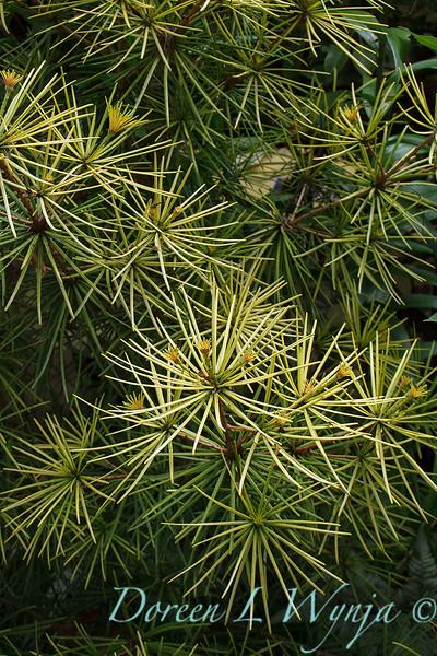 Sciadopitys verticillata 'Aurea' garden textures_4851.jpg