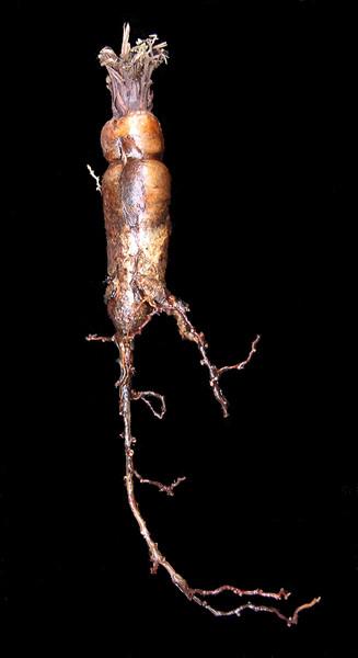Pelarginium fissifolium tuber