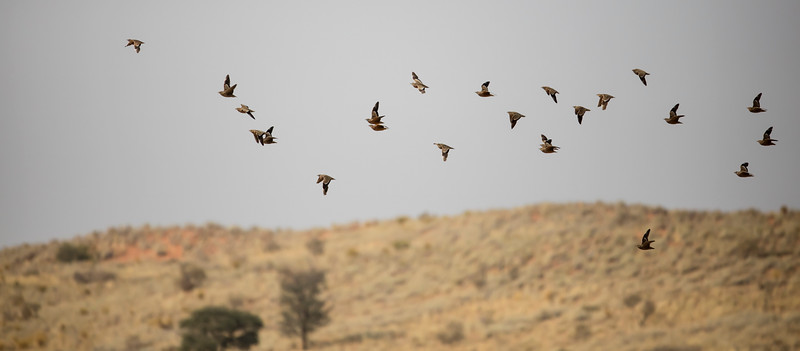 Burchell's Sandgrouse