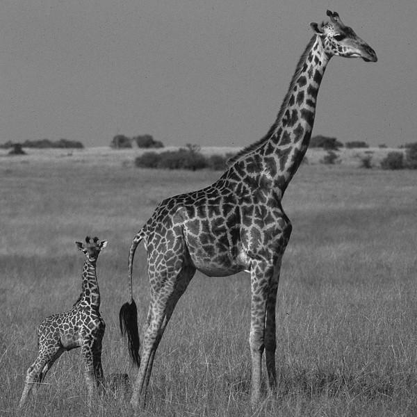 Girafes_Kenya.jpg