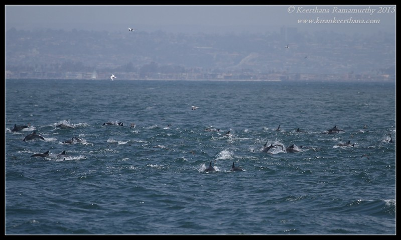 Feeding frenzy, commond dolphins, shearwaters, gulls, terns, pelicans, Whale Watching trip, San Diego County, California, June 2015
