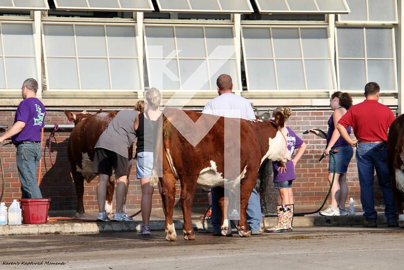 Cattle Showmanship & misc barn shots