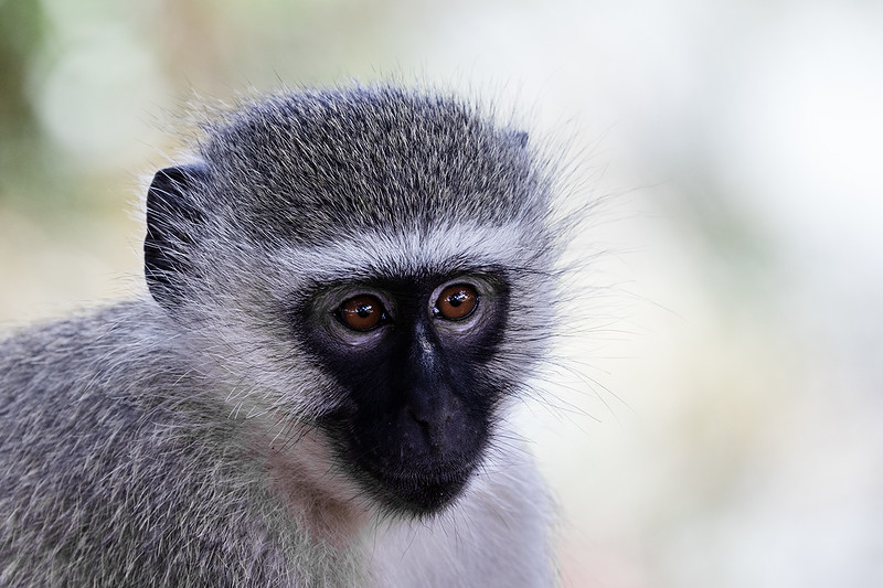 Vervet Monkey 1703011195.jpg