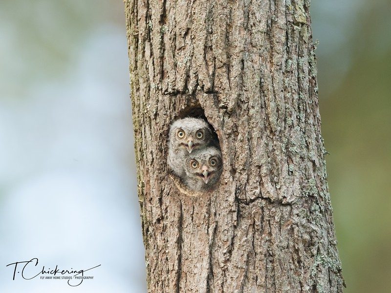 Eastern Screech Owlets-1527447261536.jpg