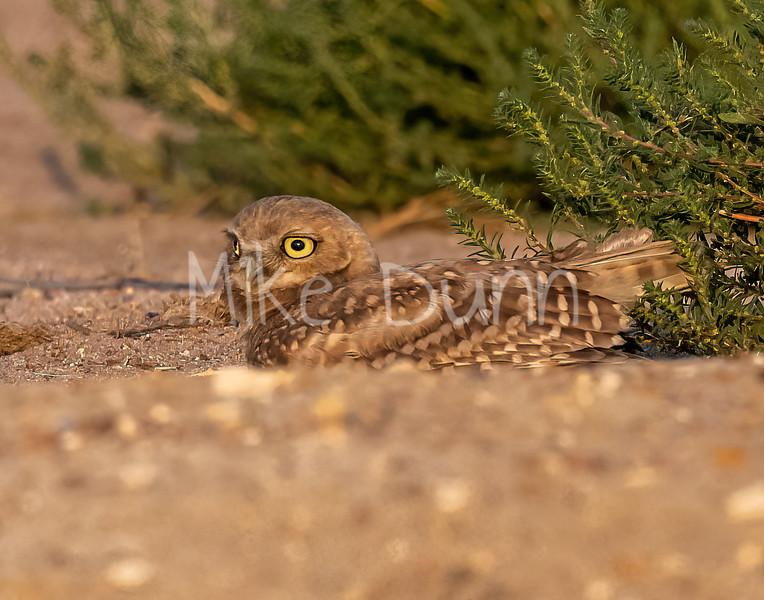 Burrowing Owl 21-67