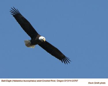 Bald Eagle A23767.jpg