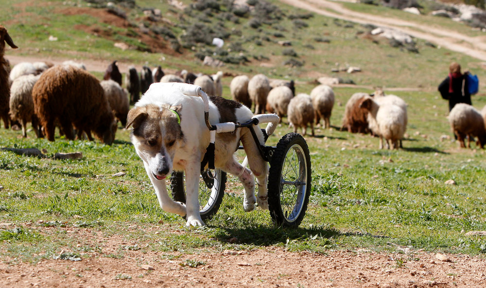 ". Abayed, a six-year-old herding dog, walks with a specially-made wheeled walking aid outside the Humane Center for Animal Welfare near Amman on February 26, 2013. The dog, whose name means ""white\"", was hospitalized and treated after a bullet pierced his spine and paralyzed him two years ago.   REUTERS/Ali Jarekji"
