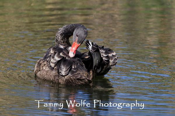 Swan, Black