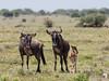 Young Wildebeest calf