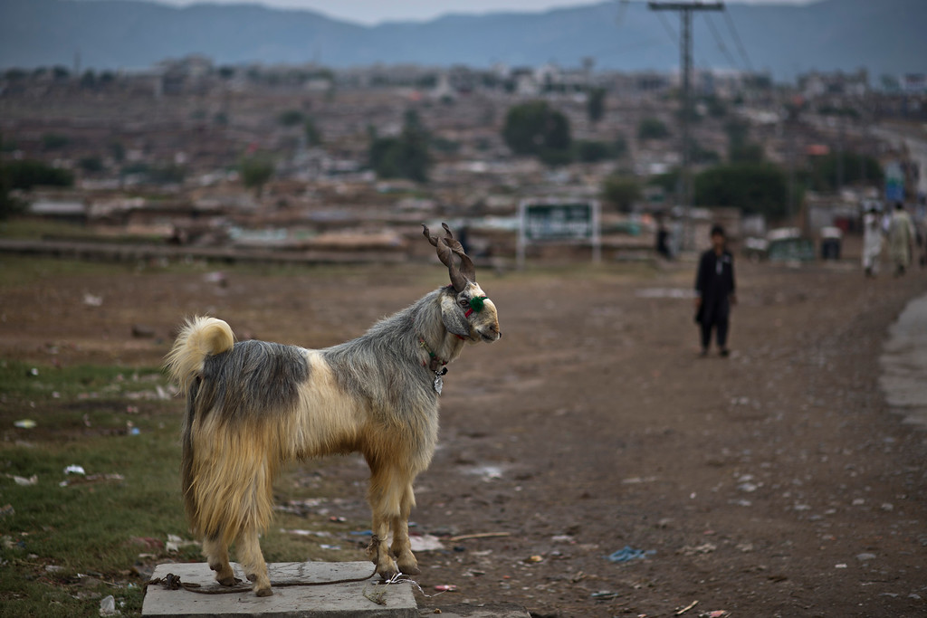 """. A four year-old  goat named Neela, is displayed for sale by a Pakistani man on a roadside on the second day of the Muslim holiday of Eid al-Adha, or \""""Feast of Sacrifice\"""", on the outskirts of Islamabad, Pakistan, Thursday, Oct. 17, 2013.  (AP Photo/Muhammed Muheisen)"""