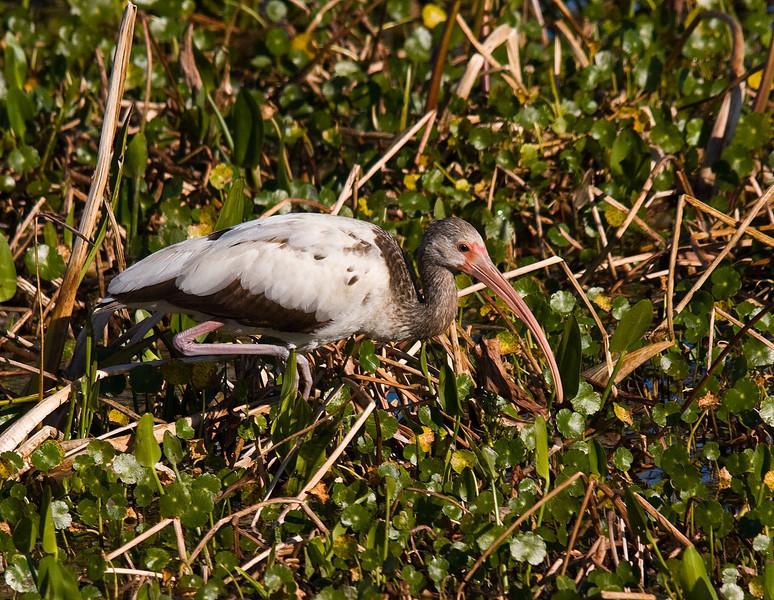 juvi white ibis