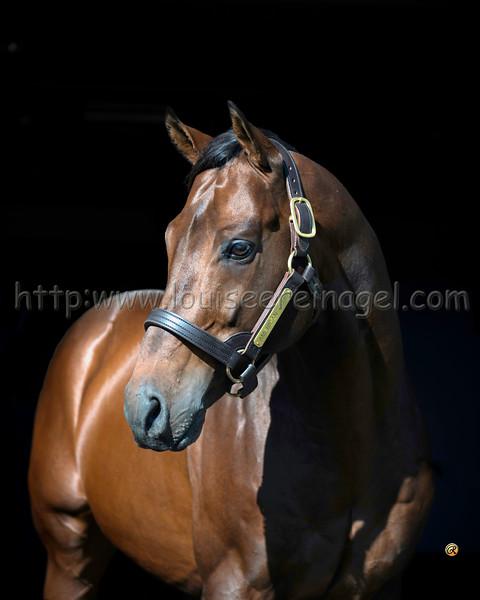 Adena Stallions AMERICAN GURU conformation and head for Canada, Dermot