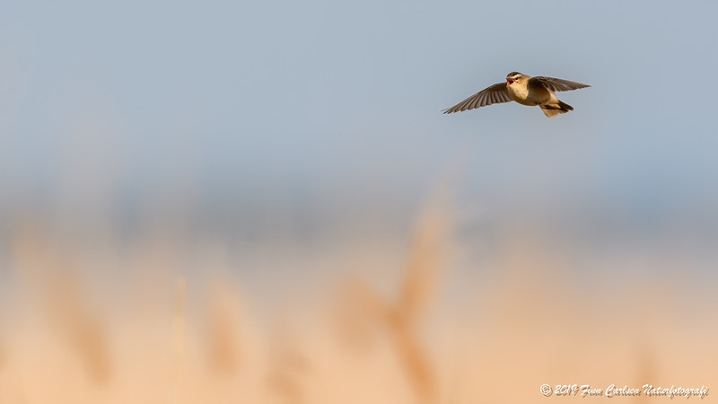 Sivsanger - Acrocephalus schoenobaenus - Sedge warbler