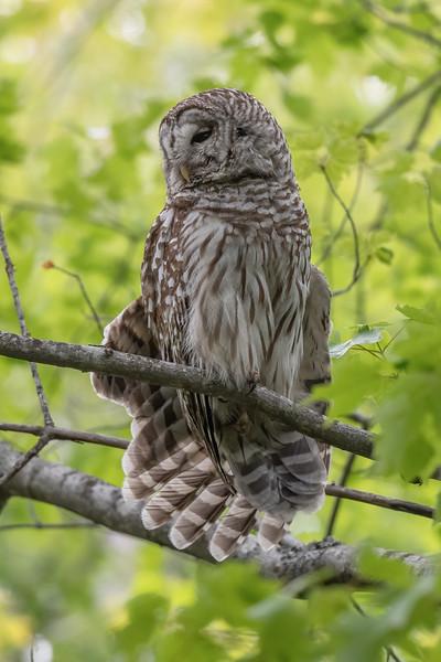 #1621 Barred Owl