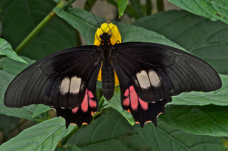 Swallowtail Butterfly (Parides sp.)