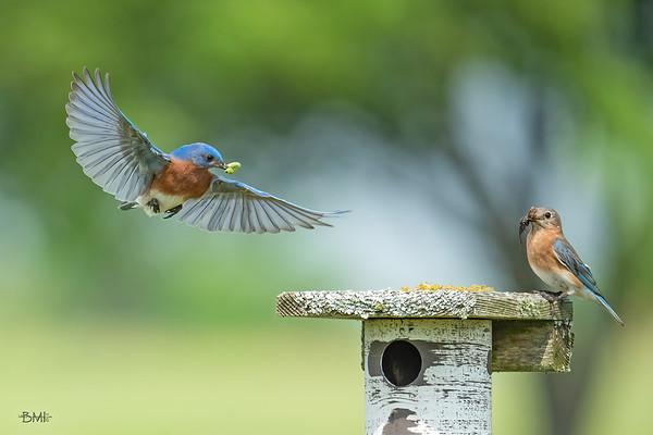 Eastern bluebirds 2020