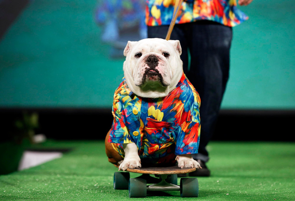 Description of . Beefy, a Bulldog breed, rides on a skateboard pulled by his owner Patrick Clemens on the runway of the New Yorkie Runway Doggie Fashion Show in New York February 7, 2013. REUTERS/Shannon Stapleton