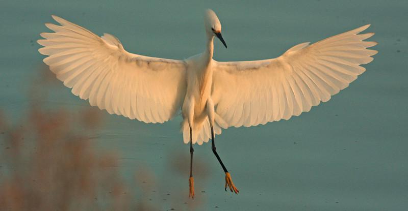 WB~Snowy Egret landing full flare landing1280.jpg
