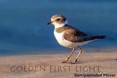 Semipalmated Plover, Morro Bay CA, USA