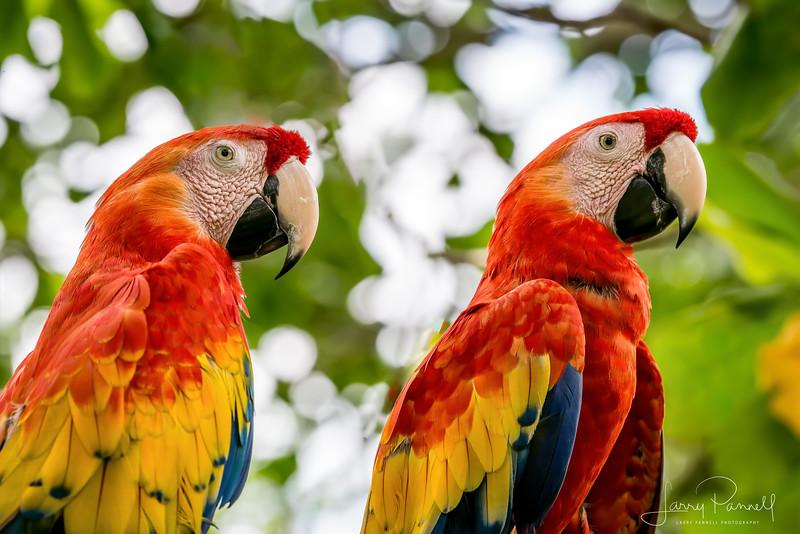 Scarlet Macaw - A Pair