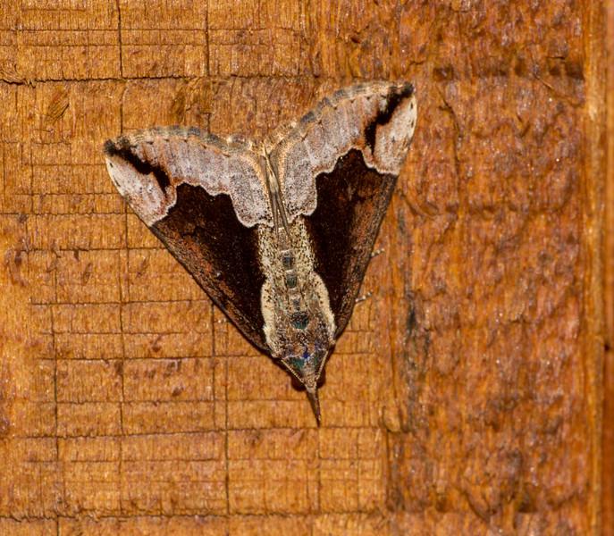 Hypena bijugalis Dimorphic Bomolocha Dimorphic Snout 93-0564 8443 Family Erebidae Skogstjarna Carlton County MN  IMG_0727.jpg