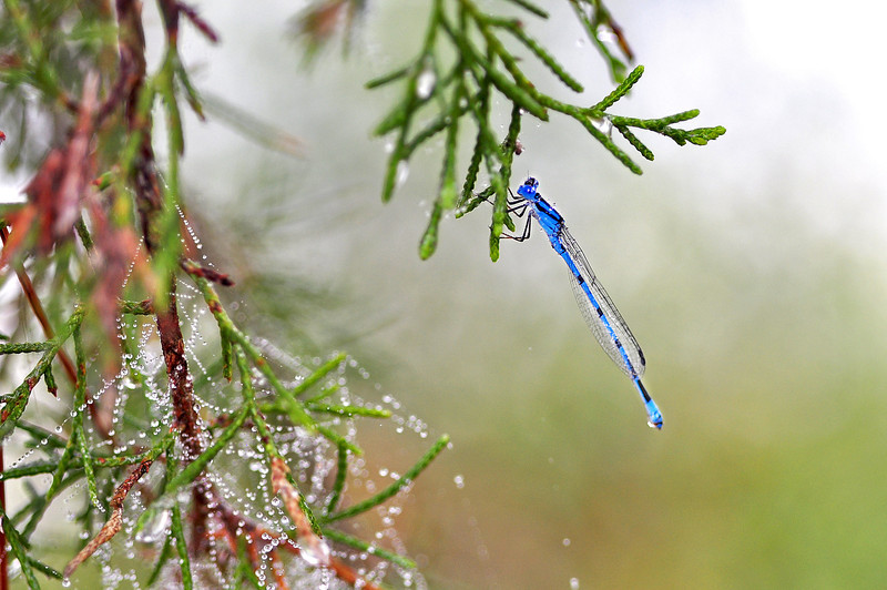 Atlantic Bluet, (Damselfly). Milton, FL.