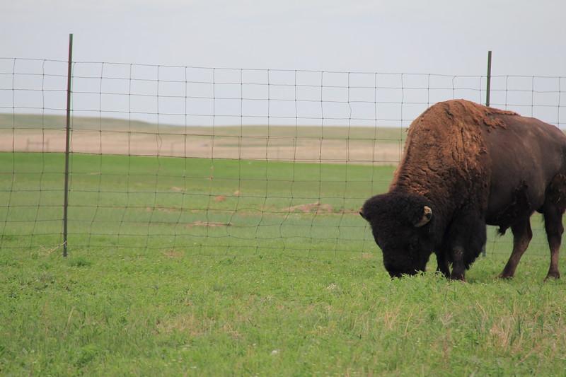 20140523-178-BadlandsNP-PrairieDogsBison.JPG