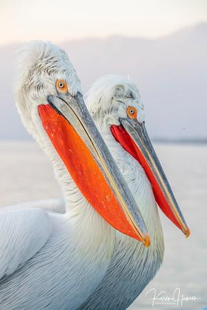 Dalmatian Pelicans - Greece