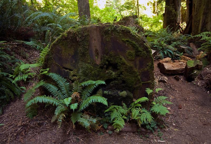redwood_fern.jpg