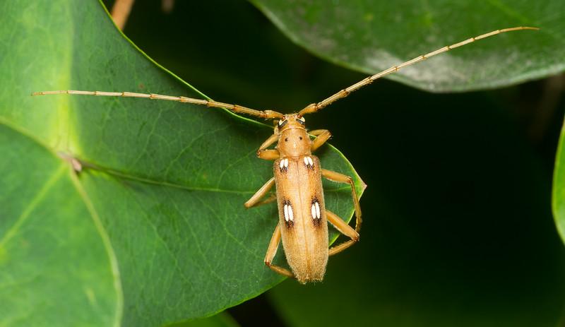 Ivory Marked Beetle, Eburia quadrigeminata (Cerambycidae) from Iowa.