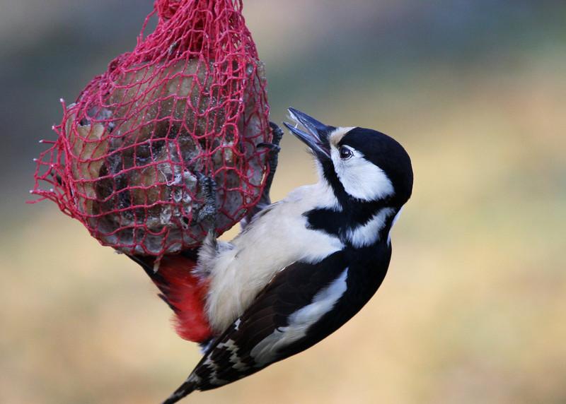 Woodpecker enjoys Rind_5484.jpg