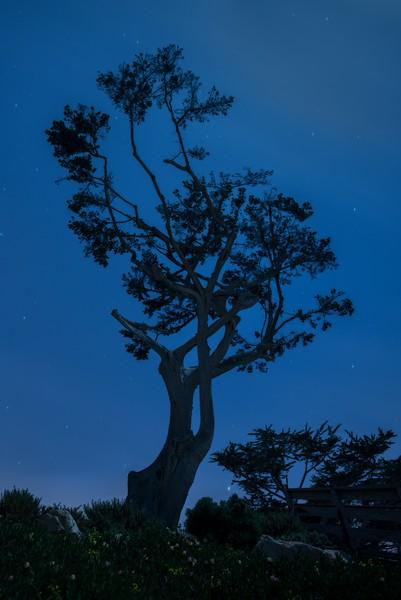 Evening Cypress, Carmel, California