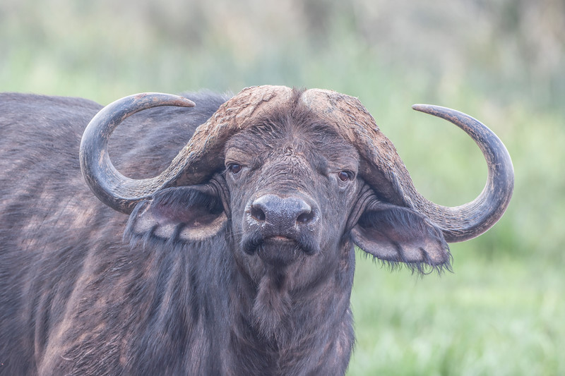 Cape Buffalo 7356.jpg
