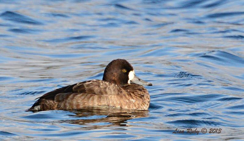 Female Lesser Scaup - 12/21/13 - Lake Murray