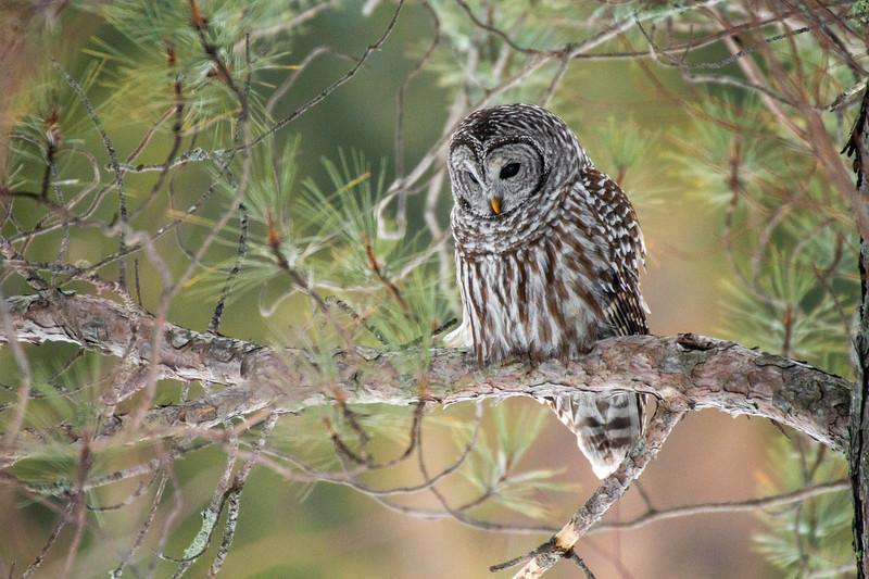 Barred Owl hunting Yellow-bellied Bog Peary Road Sax-Zim Bog MN IMG_0236.jpg