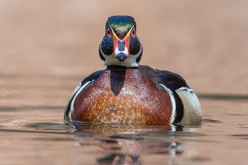#936 Wood Duck