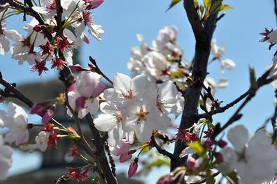 Cherry Blossom Festival 4.14.2012