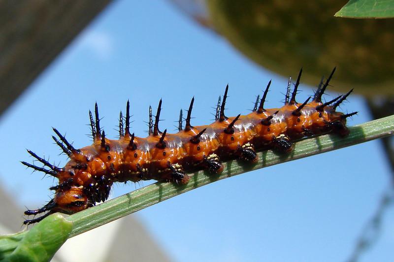 Gulf Fritillary caterpillar 2.jpg