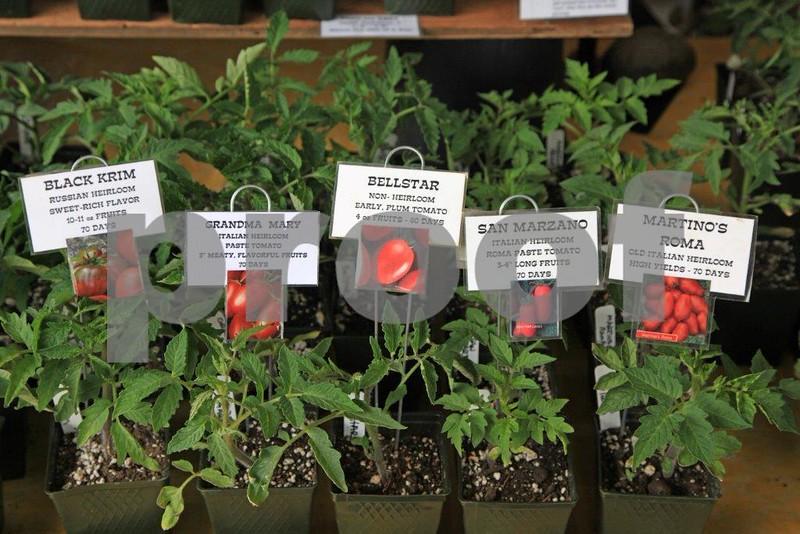 Tomatoe starts 5918.jpg