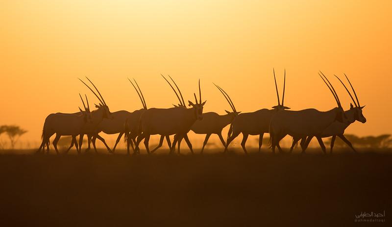 Arabian Oryx (17).jpg