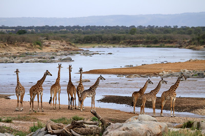 Giraffe at the Mara River