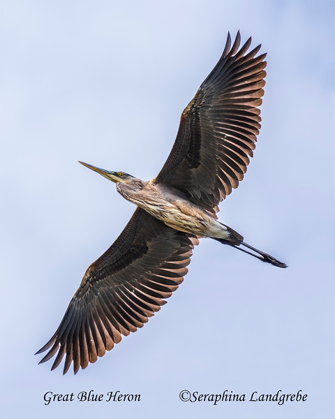 _DSC0274Great Blue Heron.jpg