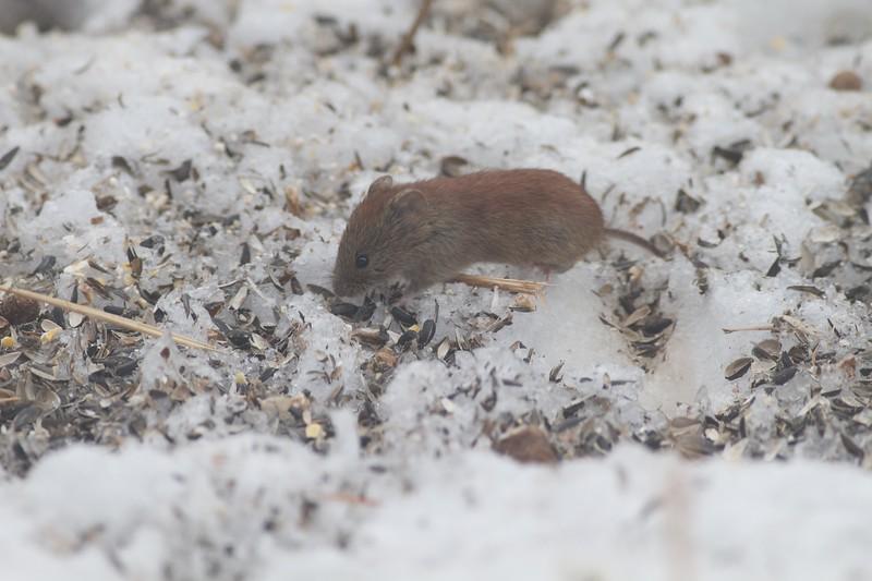 Red-backed Vole Clethrionomys gapperi Myodes gapperi Skogstjarna Carlton Co MN IMG_0034224 (1).jpg