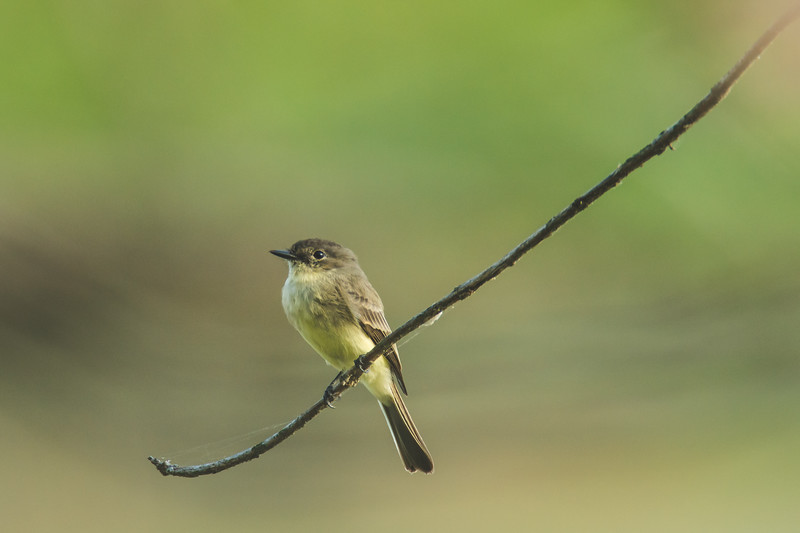 An eastern phoebe at the Celery Bog in West Lafayette, Indiana