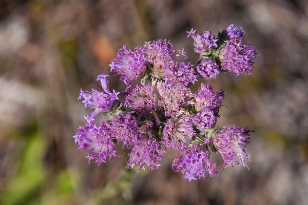 Unidentified Purple Flower - Pumpkin Hill Creek Preserve State Park - Jacksonville, FL