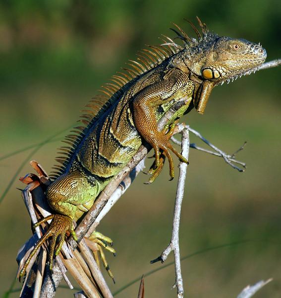 Iguana in central Belize