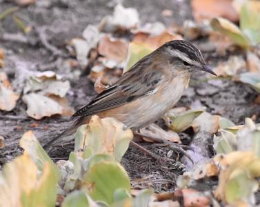 A 38 Warbler,Cisticola-Zweigsänger