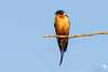 Red-bellied Swallow