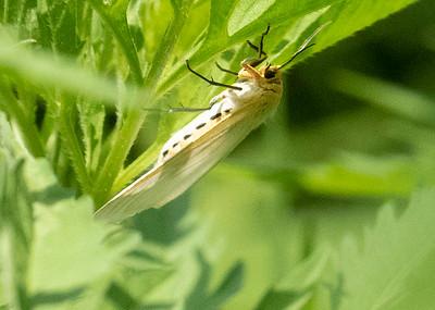 Dagger Moth