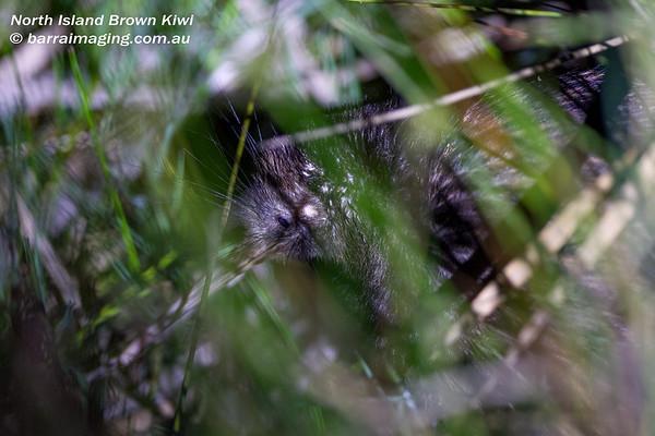Kiwis Family Apterygidae